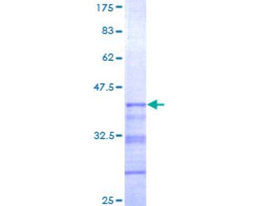 SIGLEC12 Protein