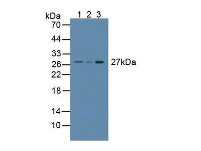CRISP1 Polyclonal Antibody