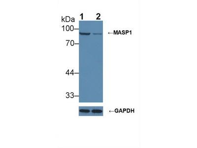 MASP1 / MASP Antibody