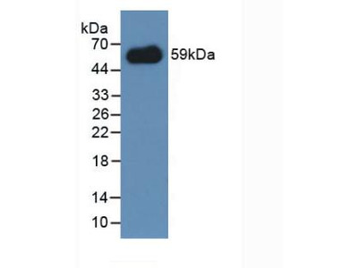 CD300LF / CD300f Polyclonal Antibody