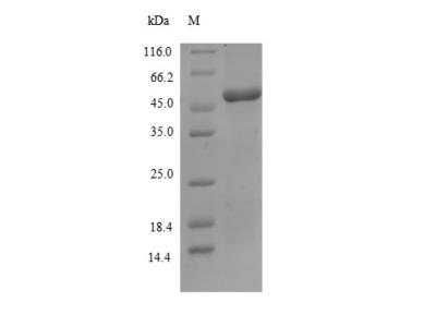 SLURP1 / ARS / MDM Protein