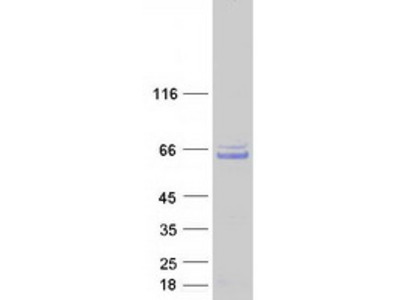 CCDC130 MS Standard C13 and N15-labeled recombinant protein (NP_110445)
