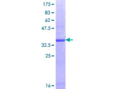 GPR180 Protein