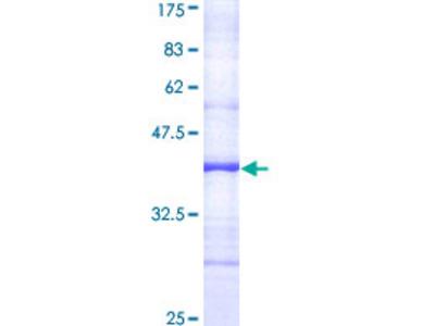 APC4 / ANAPC4 Protein