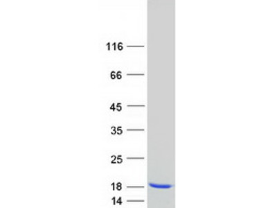 MYL1 MS Standard C13 and N15-labeled recombinant protein (NP_524146)
