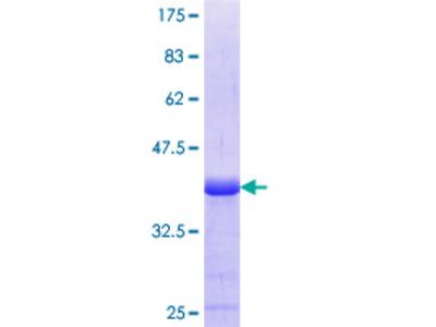 GPR161 Protein