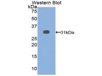LRIG3 Antibody