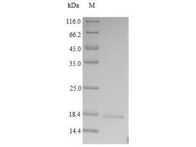 CRBN / Cereblon Protein