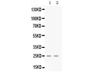 CXCL3 / GRO Gamma Antibody