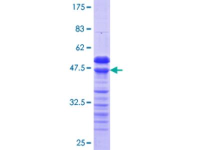 RFXANK Protein