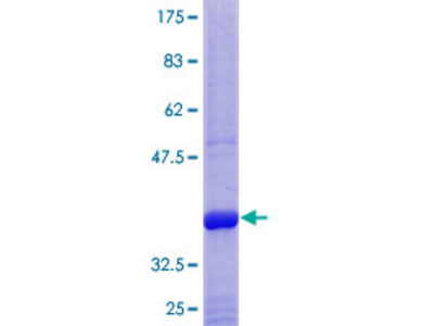 ANPEP / CD13 Protein