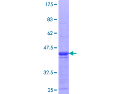 MPHOSPH8 Protein