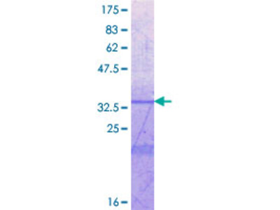 ICAM5 / ICAM-5 Protein