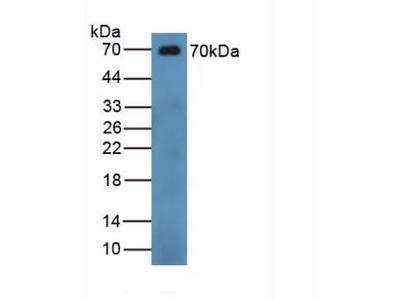 CHGB / Chromogranin B Antibody