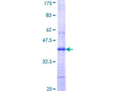 ART4 Protein