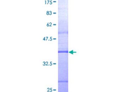 MYD88 Protein