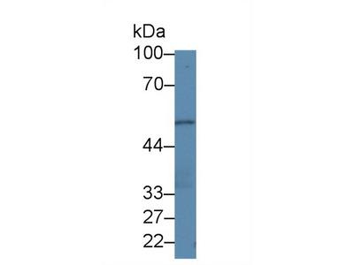 PLEKHA1 Antibody