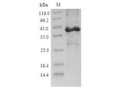SCGB3A2 Protein