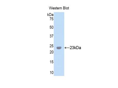 PXDN / MG50 Antibody