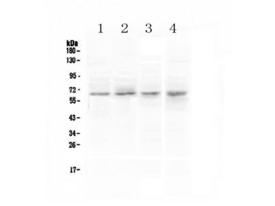 CCKBR / Cckb Antibody
