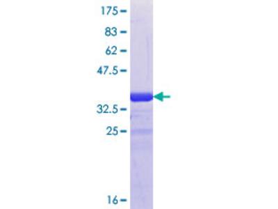 GJD2 / CX36 / Connexin 36 Protein