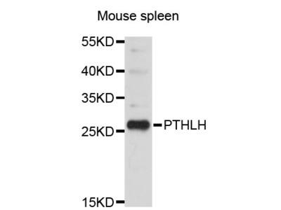 PTHLH / PTHRP Antibody