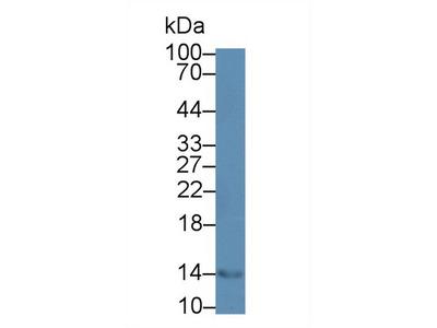 CCL28 / MEC Antibody