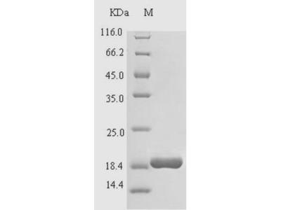 LL37 / Cathelicidin Protein