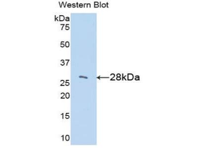 LOXL3 Antibody
