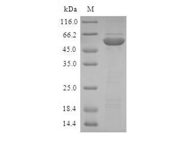 ABH2 / ALKBH2 Protein