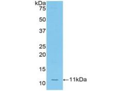 Ccl12 / MCP5 Antibody