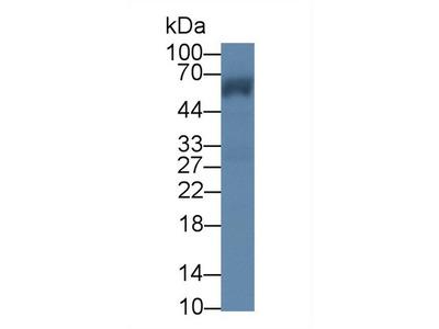 LUC7L3 / CROP Antibody