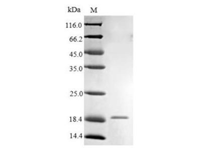 FCER1G Protein