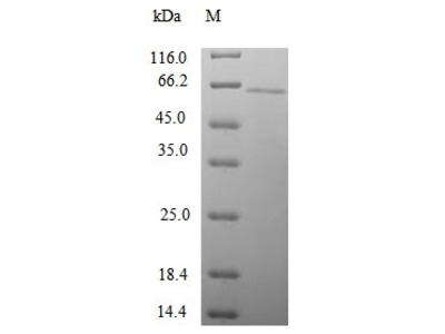 SNTG1 Protein