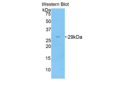 Adam5 Antibody