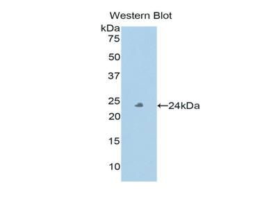 PXDN / MG50 Polyclonal Antibody