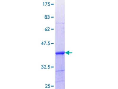 LSP1 Protein