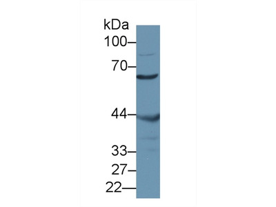 MSTO1 / MST Antibody