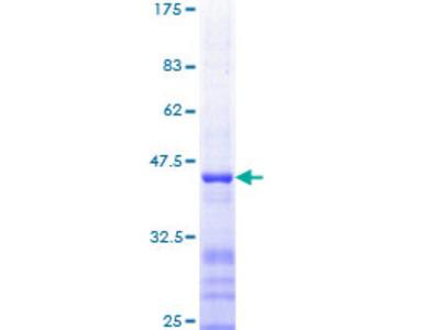 FOSB Protein