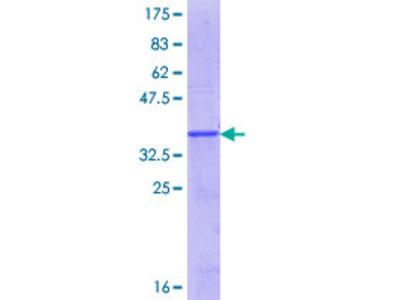 CLC Protein