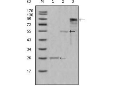 Myeloperoxidase / MPO Antibody (9B12G7)