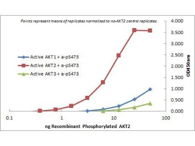 AKT2 Antibody (11F6.B2)