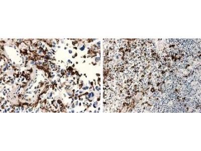 Macrophage Antibody (RM0029-11H3)