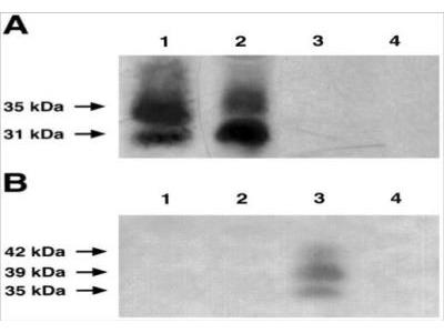 Follistatin Antibody (H10) - Azide and BSA Free
