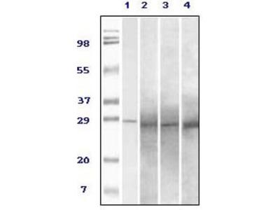 Rab25 Antibody (3F12F3)