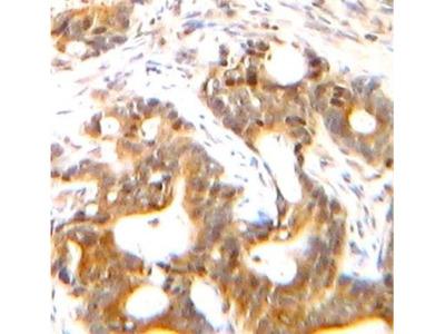 CXCL12/SDF-1 alpha Antibody