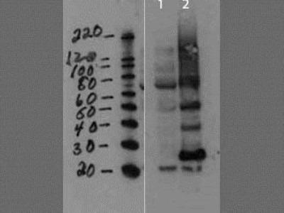 Gag-Pro-Pol polyprotein Antibody