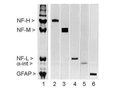Anti-NF-M antibody [3H11]