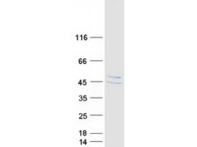 STARS (ABRA) (NM_139166) Human Mass Spec Standard