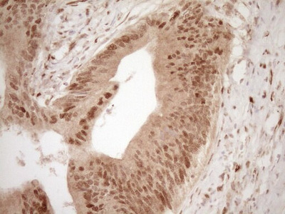 GFI1 Monoclonal Antibody (OTI6E8)